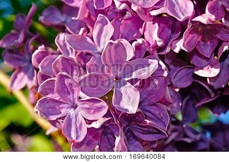 Lilac flowers spring floral background. Selective focus at the central flowers, spring flower background with spring lilac flowers
