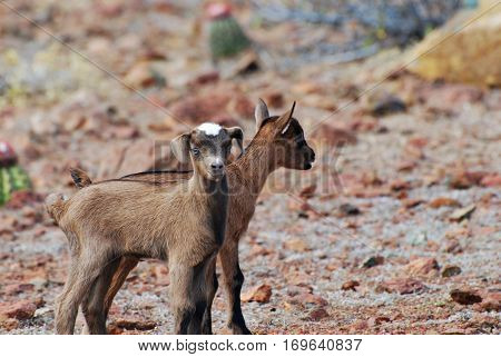 Amazing pair of kid goats in Aruba.