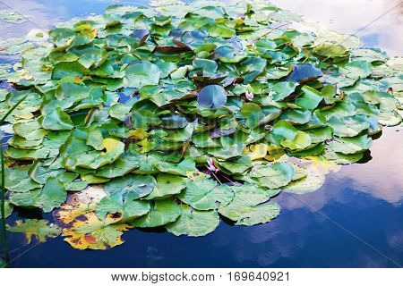 Leaves of water lily in a pond. Lotus leafs over water. Waterlilies on the lake. Shallow depth of field. Selective focus.