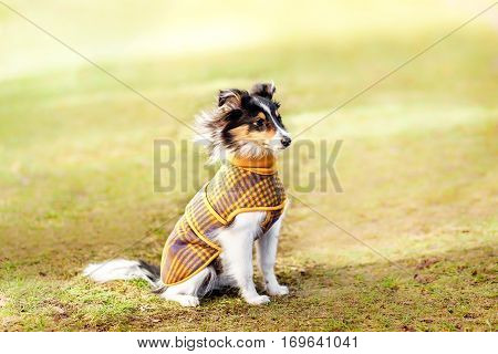 Cute Shelties sitting on the street . Dog in costume sweater clothing care