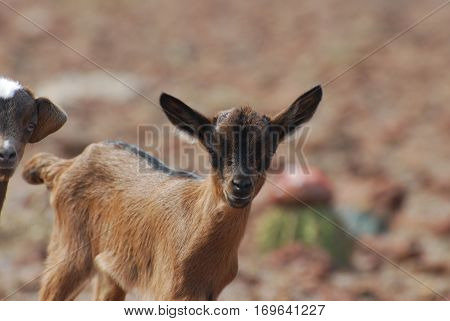 Really cute face of a baby brown goat in the wild.