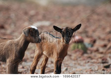 Pair of wild kid goats in Aruba.