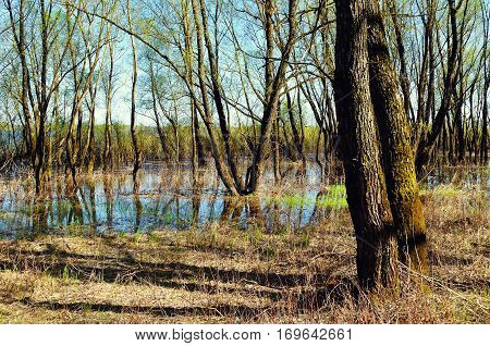 Spring forest landscape - spring trees flooded with overflowing spring river water in sunny spring weather. Spring nature landscape of colorful spring forest in sunny day