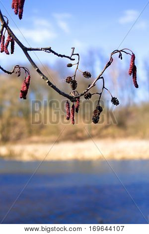 Alder Tree Branch On A Background Of Blue River