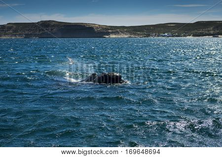 Southern Right Whale in the Valdes Peninsula in Argentina; Concept for travel in Argentina and Whale Watching