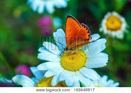 Scarce Copper (lycaena Virgaureae) Butterfly