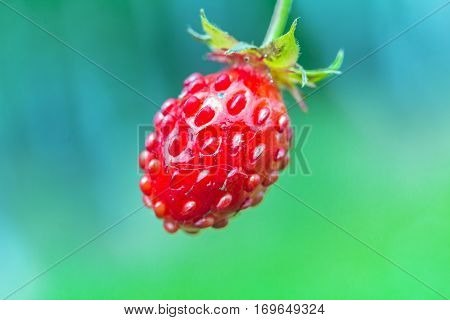 Woodland Strawberry (fragaria Vesca) Bright Red Fruit