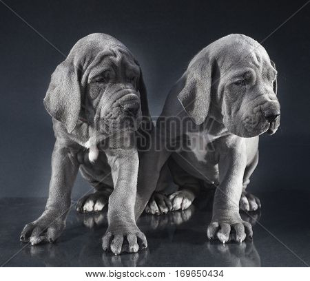 Pair of Blue Great Dane puppies on a dark background