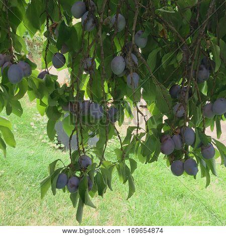 Organic Plums Closeup On Tree
