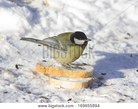 Great tit Parus Major close-up portrait in snow on bread with bokeh background selective focus shallow DOF