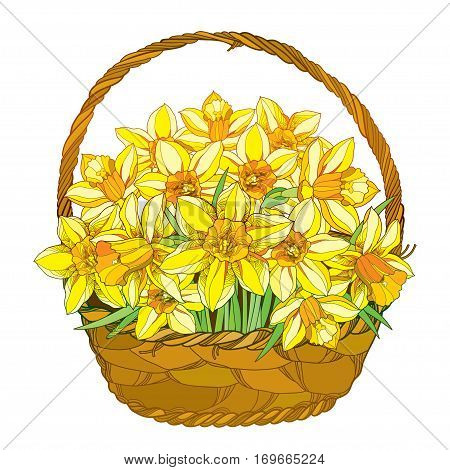 Vector bouquet with outline yellow narcissus or daffodil flowers in the basket isolated on white. Ornate floral elements for spring design, greeting, invitation. Basket of narcissus in contour style.