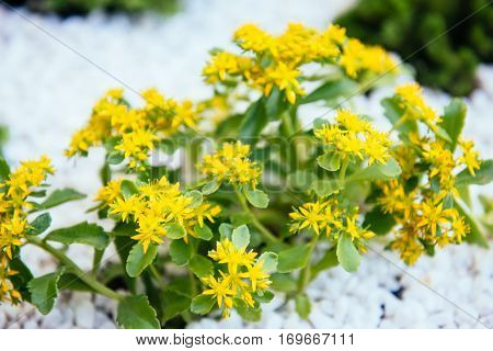 The photograph image of yellow flowers sedum plants. Flowers grow in the rocky soil