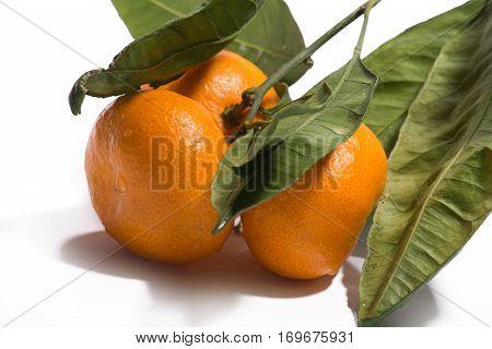 mandarins on the tree on white background