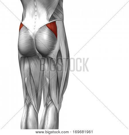 Concept conceptual 3D illustration human upper leg anatomy or anatomical and muscle isolated on white background metaphor to body, tendon, fit, foot, strong, biological, gym, fitness, health medical
