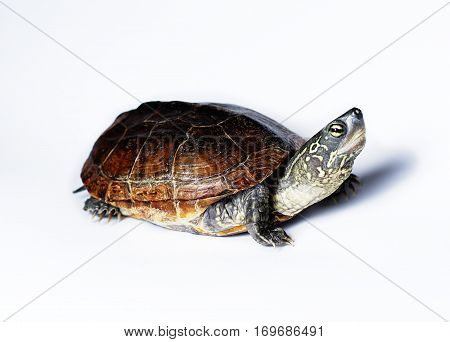 Semi-aquatic Reeves Turtle. Also known as a Chinese Pond Turtle.