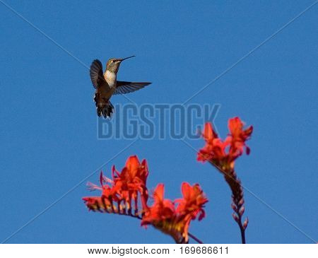 Oregon Humming Bird flying in blue sky at Sunset