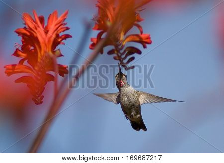Oregon Humming birds in flight, Late Afernoon