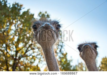 The African Ostrichs (struthio Camelus)