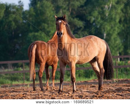 Beautiful horses in sunset in summer time