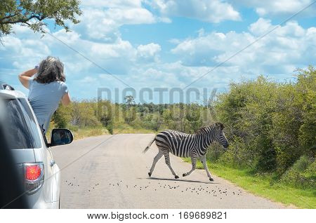 Safari in Africa, woman making zebra photo from car, travel in Kenya, savannah wildlife and animals