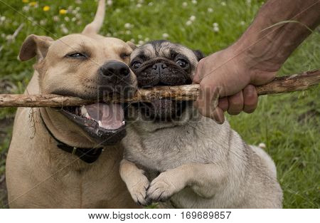 two cute dogs american pit bull terrier and pug puppy dog playing fetch with stick in the park with owner