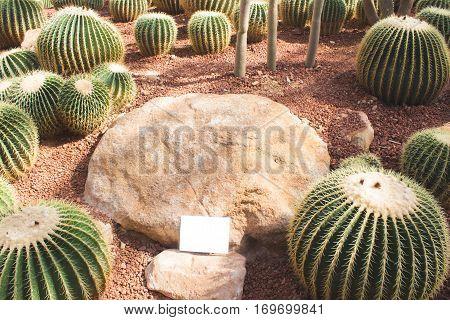 group of golden barrel cactus in desert garden
