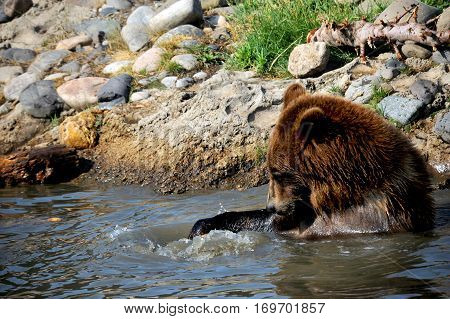 Grizzly bear sits in a pool of water and plays with his food. He has caught a fish with his paw and is playing with it.