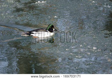 Common Goldeneye Swimming in a Cold Slushy Winter River