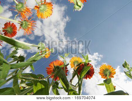 Calendula Flowers against the sky on a sunny day