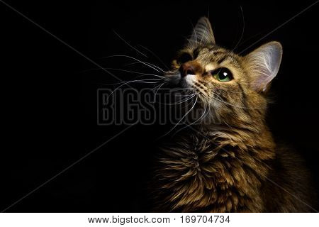 Cute Sweet Tabby Cat With Interesting Wise Look On Black Background