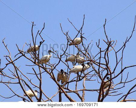 A Flock Of Black-headed Or Oriental White Ibises (threskiornis Melanocephalus) On A Dry Tree, Goa, I