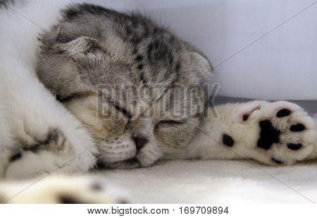 Sleeping white and grey Scottish Fold cat