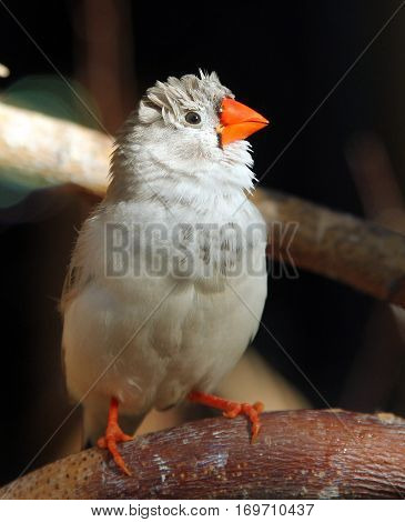 Female of Zebra finch (Taeniopygia guttata) closeup