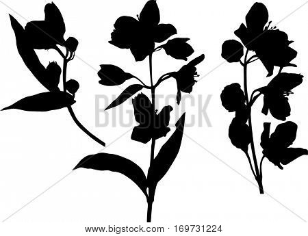 illustration with jasmin flowers silhouettes on white background
