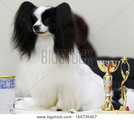 Continental Toy Spaniel at dog show Moscow.