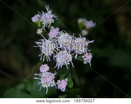 A unique lavendar and white wildflower on a dark background with bokeh backdrop