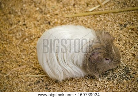 this is a close up of a long haired Guinea Pig