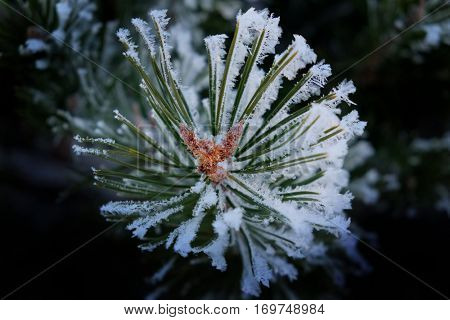 Pine boughs and needles with snow flakes frost frozen freezing branch