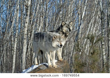 Alpha male and female wolf pair standing together on a rock