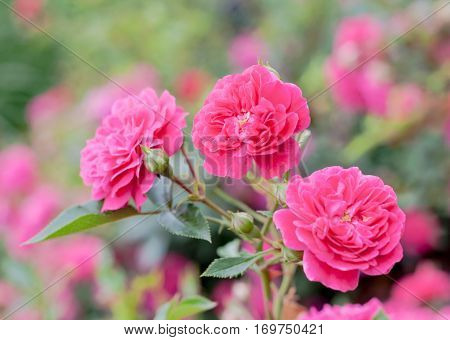 Pink Roxy Shrub Rose (Sunrosa) flowers in garden with soft background