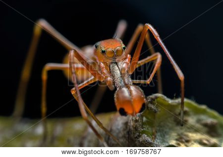 Jumping spider - Myrmarachne plataleoides (Male) or Kerengga ant-like jumper. Macro photography.