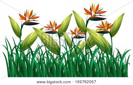 Many bird of paradise flowers in the bush illustration