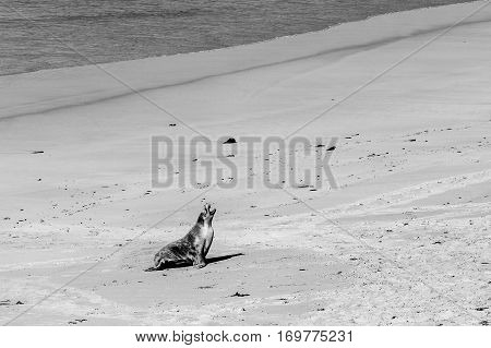 Australian Sea Lion Seal Yawning On Sandy Beach In Black And White.