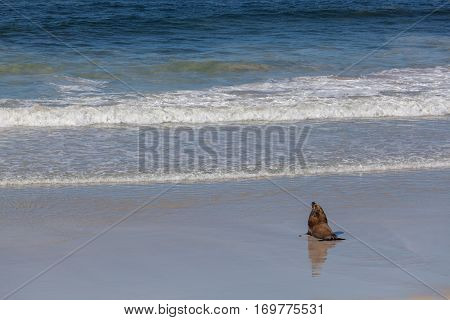 Australian Sea Lion Seal Heading Towards The Ocean.