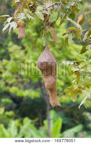 Baya Weaver Bird Nest
