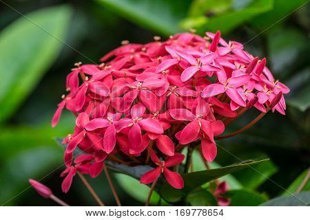 Red west indian jasmine front focus blurred background