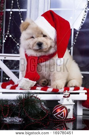 puppy christmas chow chow