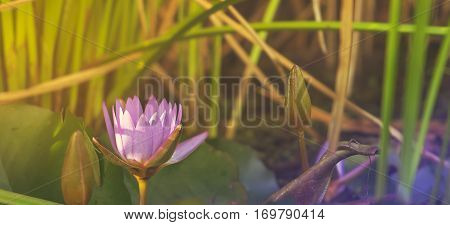 Natural purple Lotus Waterlily growing in pond in sunlight panorama