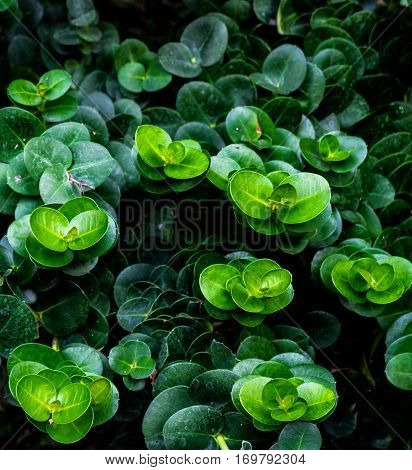 Group of belly button Peperomia green gradation