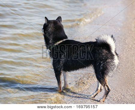 Cute little Shiba Inu dog at riverside